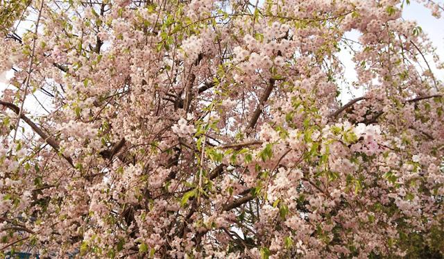 円山公園の桜たち 咲いててくれてありがとう。