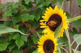 熊野にて 向日葵と蝶